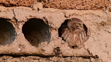 Fototapete - A little owl fly out of a concrete hole, Athene noctua
