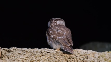 Fototapete - Adult little owl sits on a rock and watches what is happening, Athene noctua