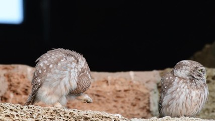 Fototapete - Two adult little owls sit on a stone wall and scratch, Athene noctua