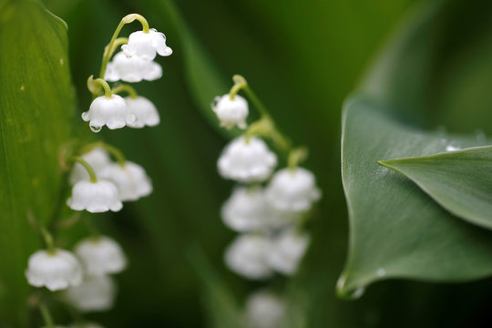Sprigs of Lily of the Valley are pictured at a farm producer near Nantes