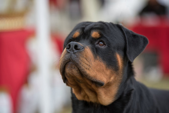 Close-up Of Rottweiler Looking Up