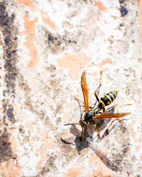 A wasp or yellow jacket climbing around on a brick wall on a sunny spring day.  Lots of copy space.