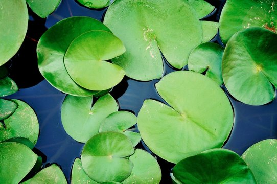 High Angle View Of Lily Pads In Pond