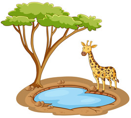 Giraffe standing by the pond on white background