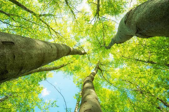 Gigantisch große Baumkronen im Frühling