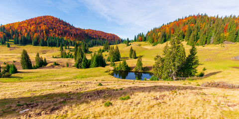 autumn panoramic landscape in mountains. fir trees around the pond on the meadow in yellowish weathered grass. distant hill in the colorful red orange colors of beech forest