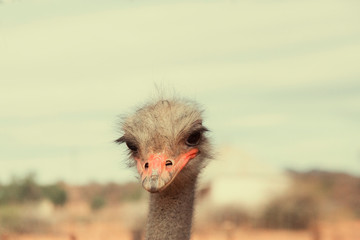 Head of ostrich in close up