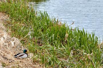 Kacze gniazdo nad brzegiem Narwii