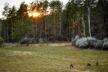 Zachód słońca w Puszczy Białej, widok na las, polanę i sarny