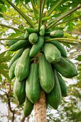 Papaya Baum