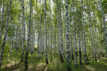 Papiers peints Forets Birch forest in summer Sunday day. Forest is very classic for Russian nature. Black & white trunks of trees, green foliage lighted by sunlight, nobody around