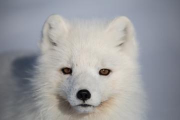 Lis polarny na południowym Spitsbergenie