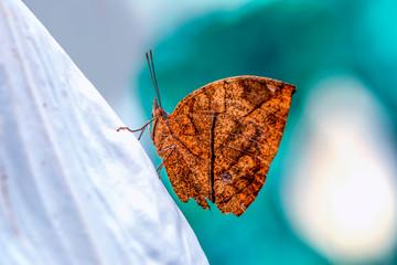 Foto auf AluDibond Schmetterling Dead leaf butterfly , Kallima inachus, aka Indian leafwing, standing wings folded on a bamboo branch, dead leaf imitation.