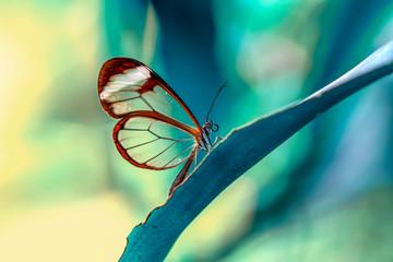 Foto auf AluDibond Schmetterling Closeup beautiful glasswing Butterfly (Greta oto) in a summer garden.