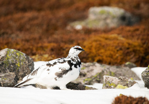 Scottish Ptarmigan