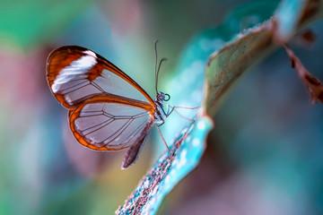 Garden Poster Butterfly Closeup beautiful glasswing Butterfly (Greta oto) in a summer garden.