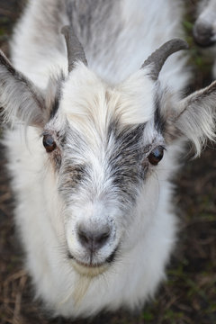 Young cute white-gray goat close-up