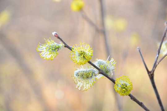 Blooming willow on a pastel background. Incomplete focus