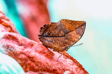 Dead leaf butterfly , Kallima inachus, aka Indian leafwing, standing wings folded on a bamboo branch, dead leaf imitation.