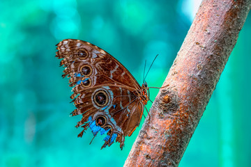 Blue Morpho, Morpho peleides, big butterfly sitting on green leaves, beautiful insect in the nature habitat