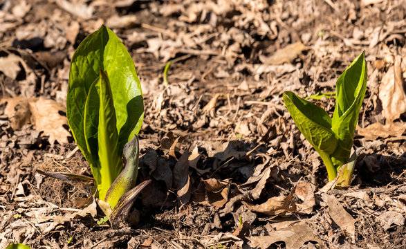 Skunk cabbage. Growing green leaves of the first spring plants in Wisconsin. Skunk Cabbage is native Wisconsin florals and one of the earliest blooming perennial wildflowers in spring.