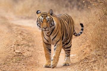 Foto op Canvas Tijger bengal tiger in the wild