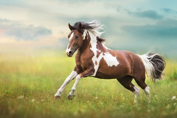 Pinto horse with long mane run gallop close up on green meadow Papier Peint