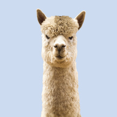 Funny angry-looking alpaca on blue background