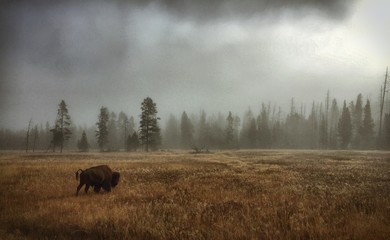 Amerikaanse bizon op grasveld door boom tegen lucht bij mistig weer
