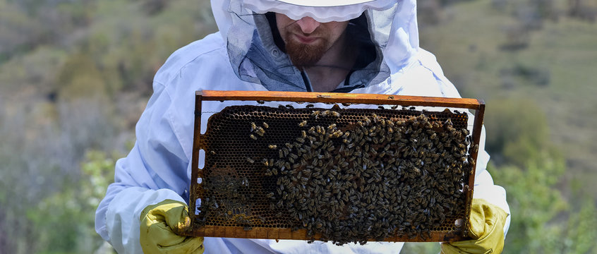 Young man holding a honeycomb with bees. Beekeeper inspecting and examining honeycomb frame at apiary at the summer day. Man working in apiary. Apiculture. Beekeeping concept.