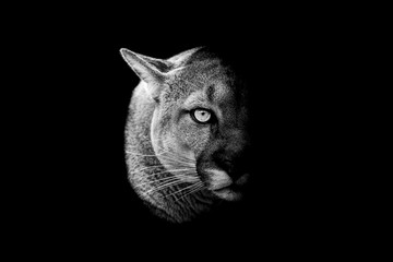 Cougar with a black Background in B&W