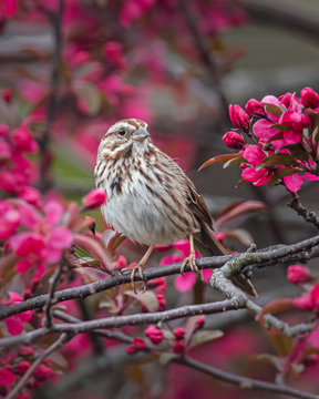 Portrait of a Song Sparrow in a crab apple tree in full spring bloom