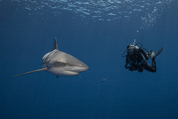 A diver and a grey reef shark in blue water