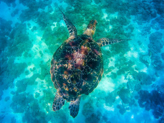 Komodo national park, Indonesia- February 2020: Sea turtle in the sea of Komodo National Park