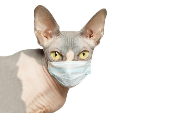 Hairless cat in medical face mask isolated on white background