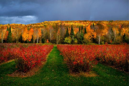 raspberry farm, northern wisconsin, autumn