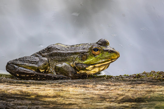 A large green frog sits on the edge of a large piece of wood at the water's edge on a rainy summer day. Wildlife. Close-up.