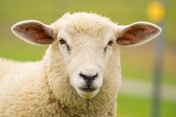 Foto op Canvas Schapen Dike sheep close up portrait 2