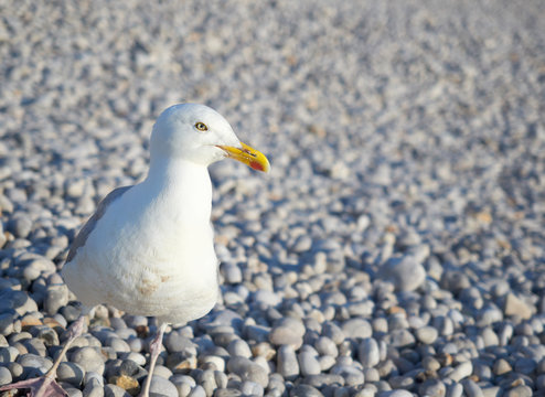 Selective focus view of a seagull walking during a summer afternoon on a beach in the french town of Etretat