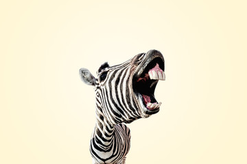 Poster Zebra zebra with open mouth and big teeth over yellow background