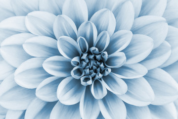 Poster de jardin Dahlia Defocused pastel, pale blue dahlia petals macro, floral abstract background. Close up of flower dahlia for background, Soft focus