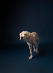 Yellow lab puppy walking on dark blue background looking camera left
