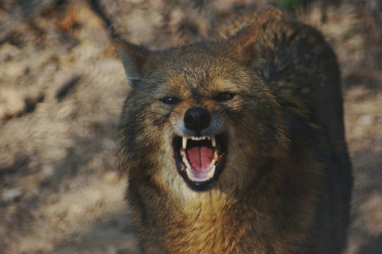 Close-up Portrait Of Wolf Growling