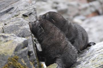 Antarctic fur seal pup in South Georgia Island