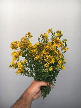 Cropped Hand Holding St Johns Wort Plant Against Wall