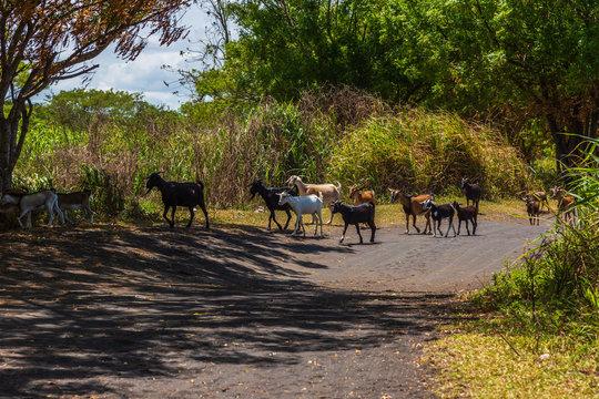 Goats walking along a path next to Lomolomo Beach in Fiji.