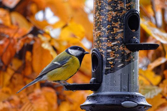 Great tit feeding on a bird feeder in autumn