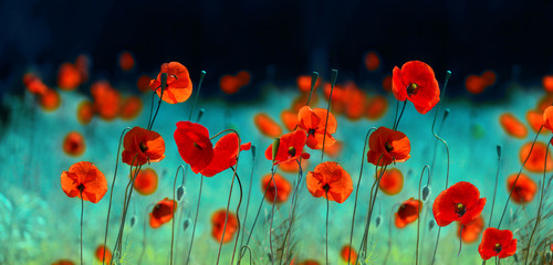 Fototapete - Blooming red poppies in field spring in nature on dark turquoise background with soft focus, macro. Bright colorful artistic image, floral scenery, panorama.
