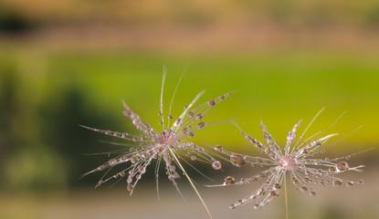 Foto op Canvas Paardebloemen en water Dandelion flower seed with dew drops close up.