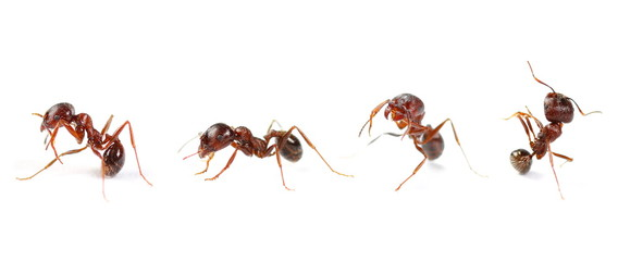 Tuinposter Macrofotografie Set european ant isolated on white background, Manica rubida